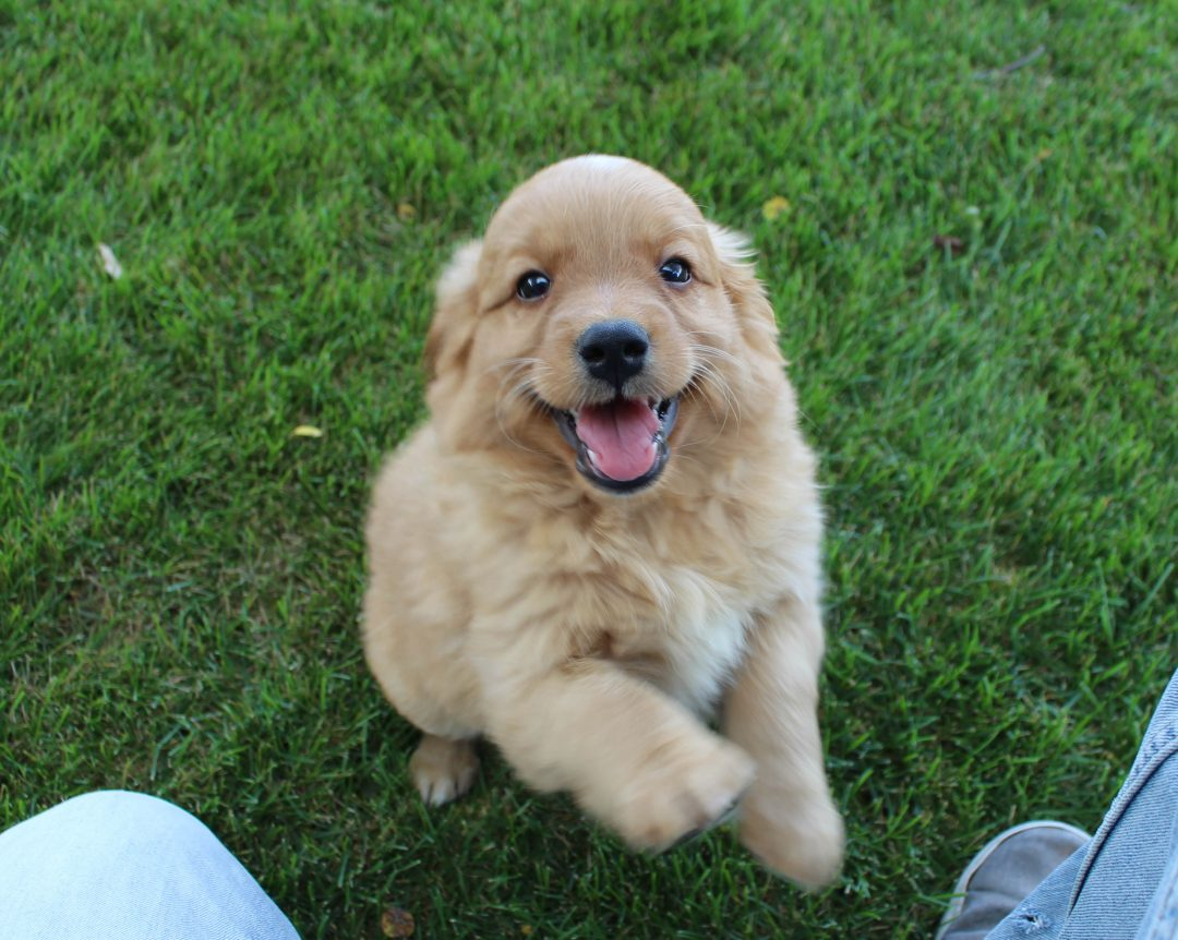 Dez - Goldendoodle male pup for sale at Grabill, Indiana
