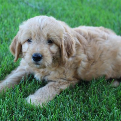 Axel - Goldendoodle male pupper for sale near Grabill, Indiana