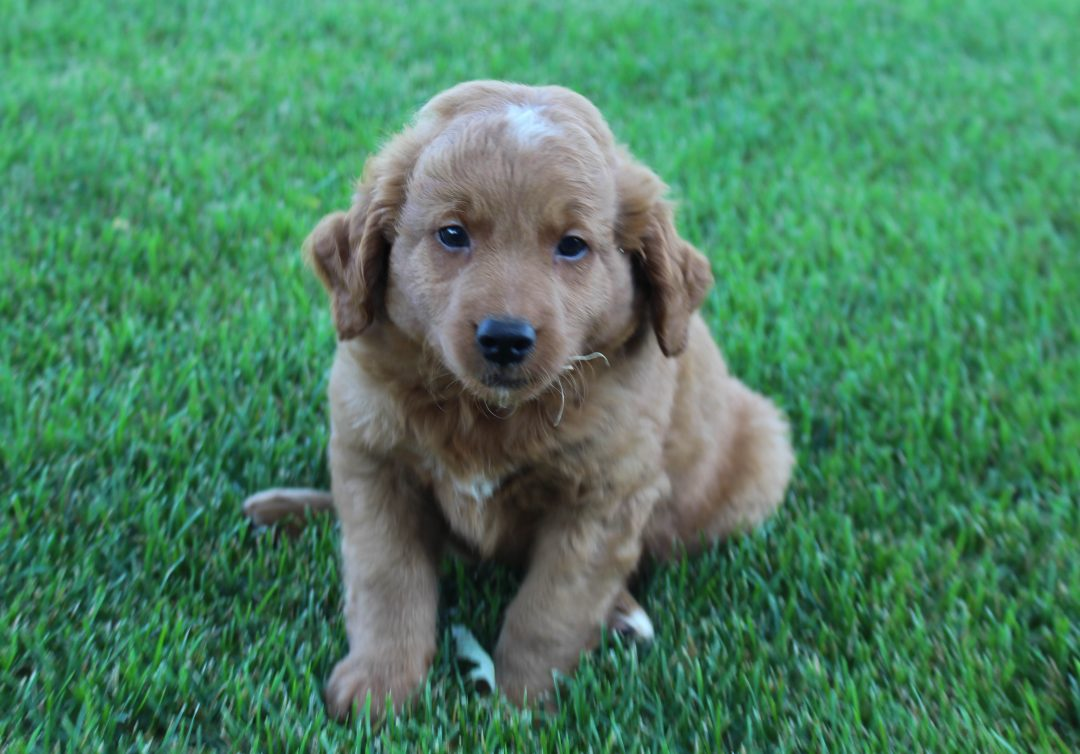 Rocky - Goldendoodle male puppie for sale in Grabill, Indiana
