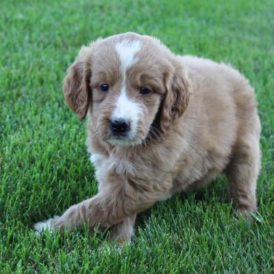 Cody - male Goldendoodle doggie for sale at Grabill, Indiana