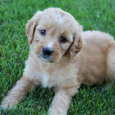 Bella - Goldendoodle female pup for sale in Grabill, Indiana