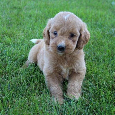 Chloe - Goldendoodle female pupper for sale at Grabill, Indiana