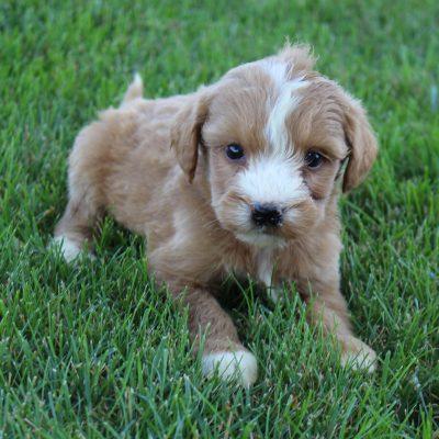 Luna - Goldendoodle female doggie for sale in Grabill, Indiana