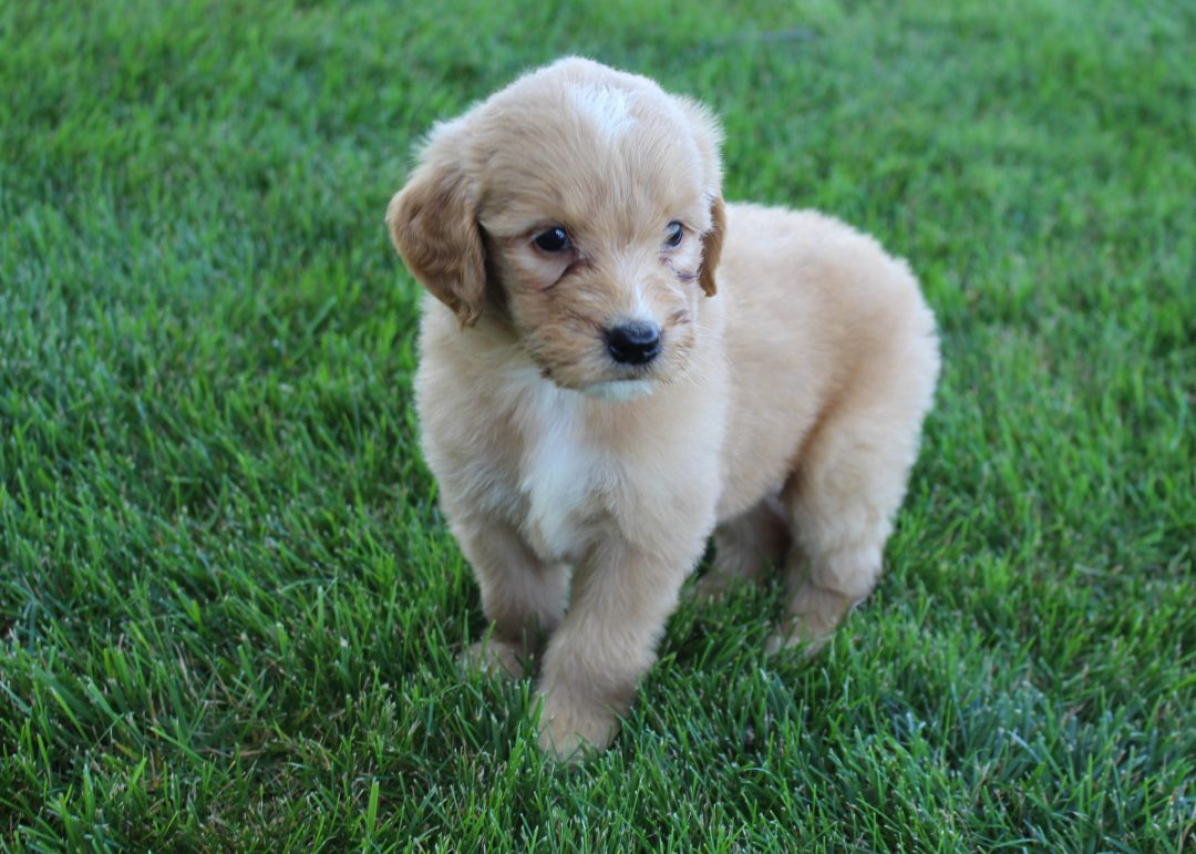 Dax - Goldendoodle male pup for sale near Grabill, Indiana