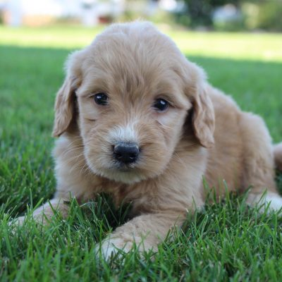 Ryder - male Goldendoodle pupper for sale in Grabill, Indiana