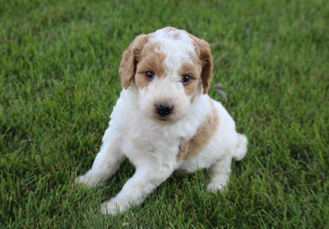 Jayla - Goldendoodle female puppy for sale at Grabill, Indiana