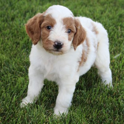 Kash - Goldendoodle pupper for sale in Grabill, Indiana