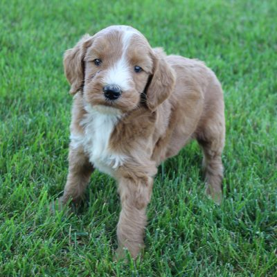 Logan - Goldendoodle male puppie for sale at Grabill, Indiana