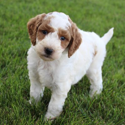 Kenzi - Goldendoodle female doggie for sale near Grabill, Indiana
