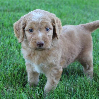 Lizzie - Goldendoodle female puppy for sale in Grabill, Indiana