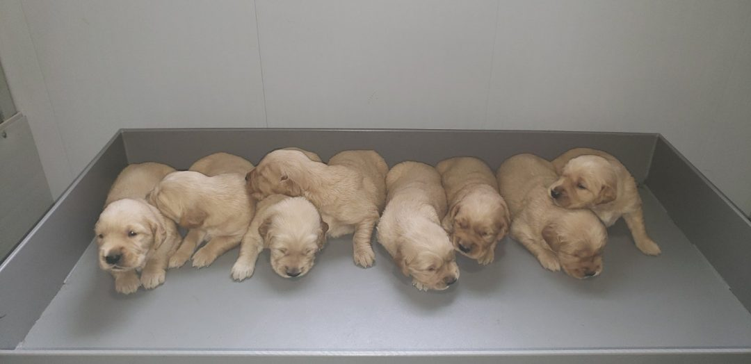 Golden Retrievers puppies for sale at Grabill, Indiana