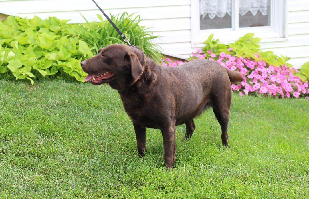 Hailey - AKC Labrador Retriever female puppy for sale in Grabill, Indiana