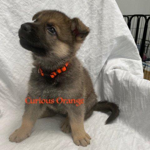 Curious Orange - AKC German Shepherd male puppie for sale near Fuquay Varina, North Carolina