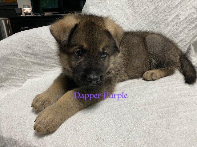 Dapper Purple - AKC German Shepherd male pupper for sale at Fuquay Varina, North Carolina