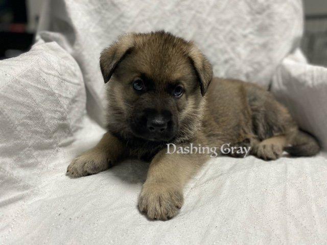 Dashing Gray - male AKC German Shepherd doggie for sale at Fuquay Varina, North Carolina