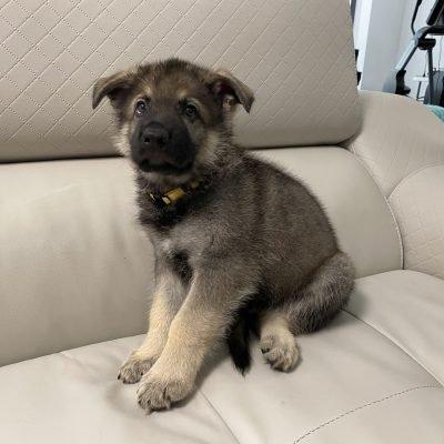 Vibrant Yellow - AKC German Shepherd male doggie for sale in Fuquay Varina, North Carolina