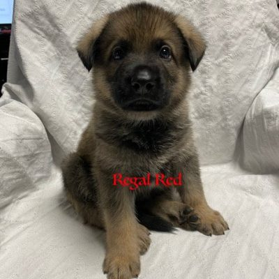 Regal Red - AKC German Shepherd male pup for sale Raleigh, North Carolina