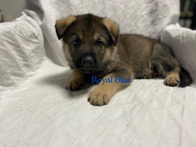 Royal Blue - AKC German Shepherd male puppie for sale at Fuquay Varina, North Carolina