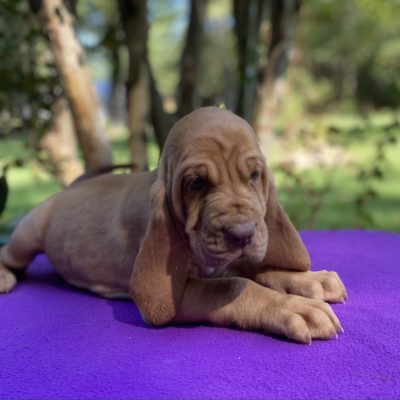 Wilma - AKC Bloodhound female puppy for sale in Mississippi