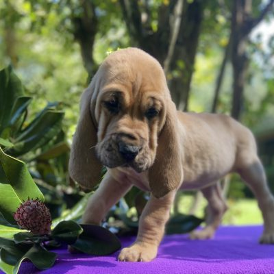 Little Rebel - AKC Bloodhound puppy for sale in Mississippi