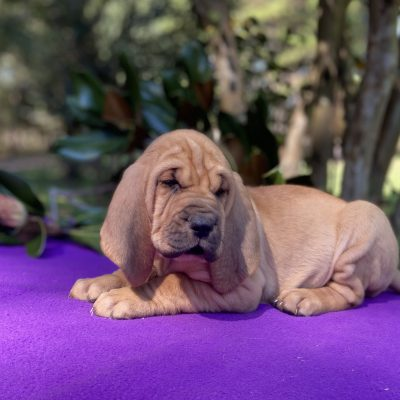 Lady - AKC Bloodhound female puppy for sale