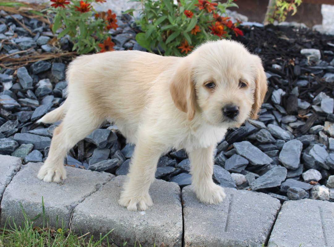 Coco - Labradoodle female pupper for sale near Woodburn, Indiana