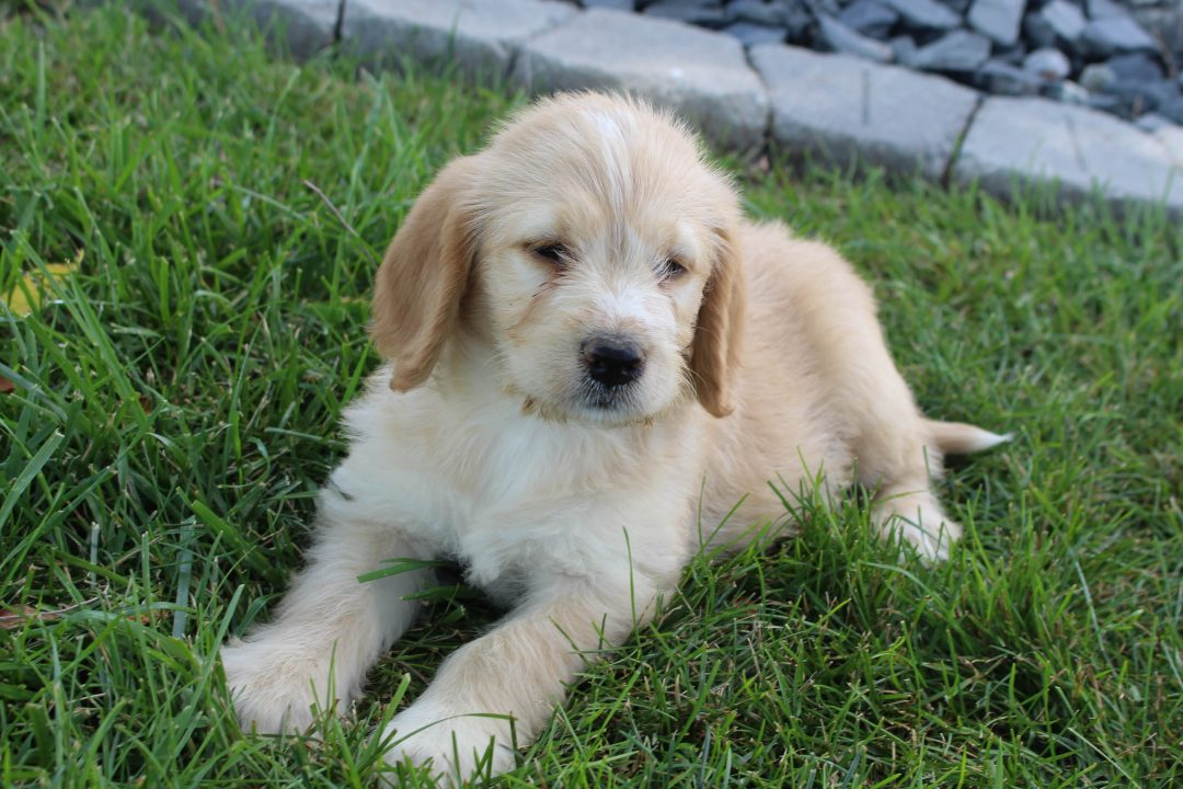 Riley - Labradoodle male puppie for sale in Woodburn, Indiana