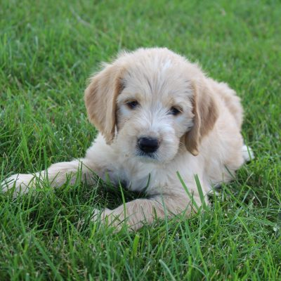 Oakley - female Labradoodle doggie for sale at Woodburn, Indiana