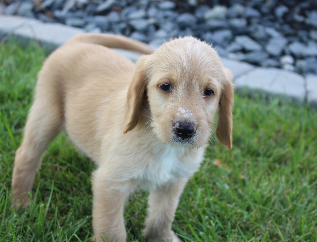 Gracie - Labradoodle female pup for sale in Woodburn, Indiana