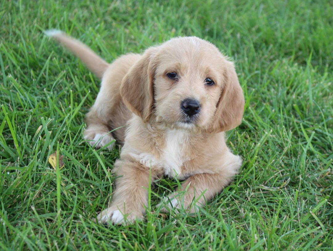 Chloe - pupper Labradoodle female for sale at Woodburn, Indiana