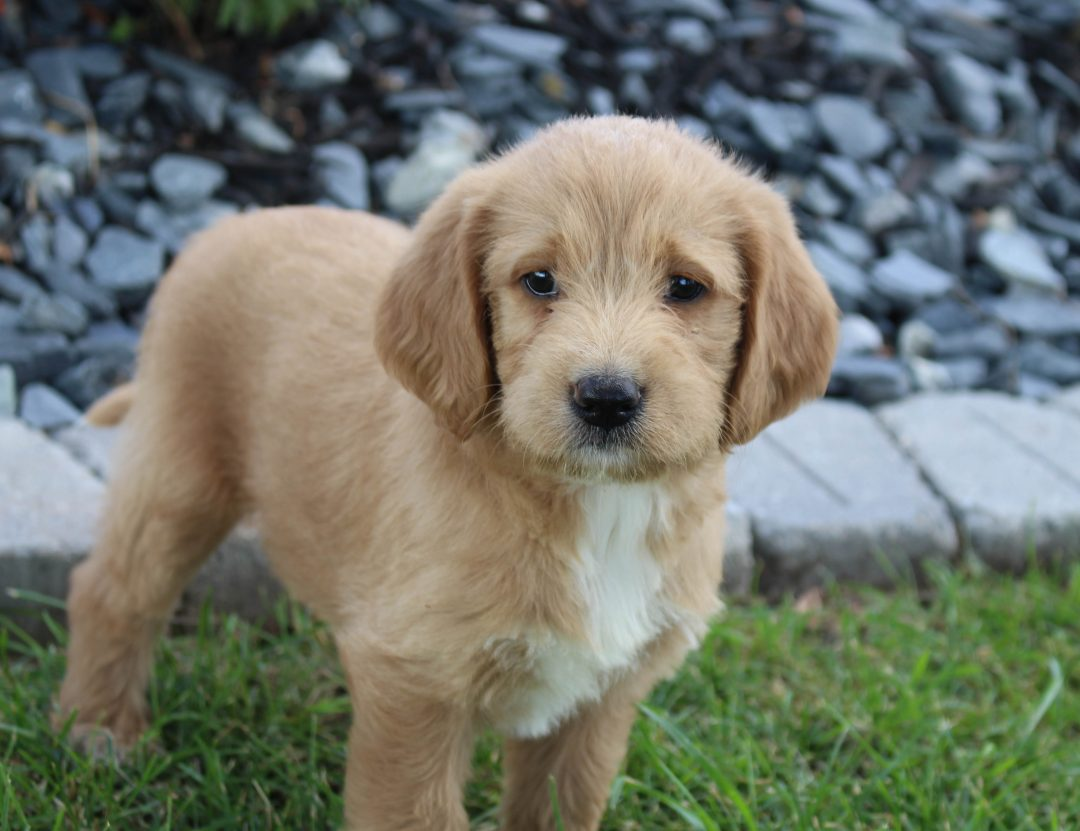 Ellie - Labradoodle male pup for sale near Woodburn, Indiana