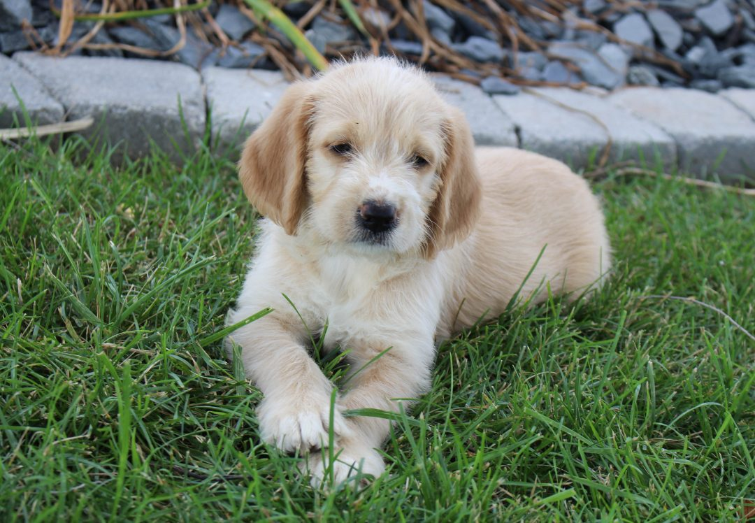 Maya - Labradoodle male pupper for sale in Woodburn, Indiana
