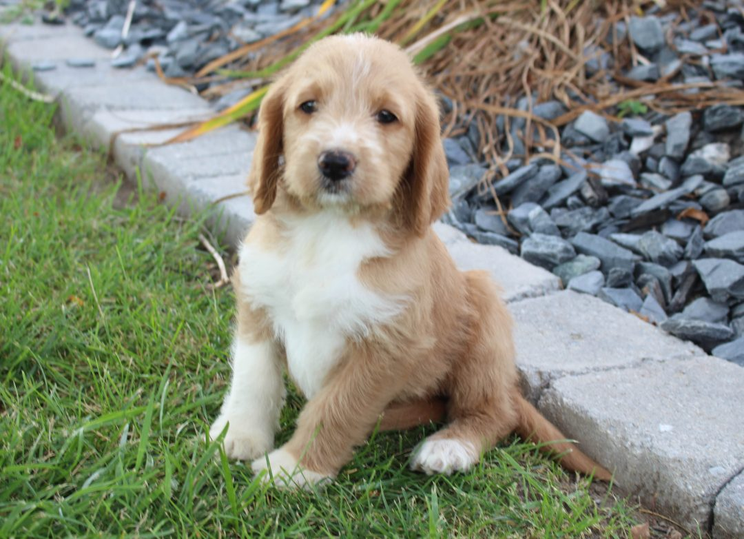 Millie - female Labradoodle puppie for sale at Woodburn, Indiana