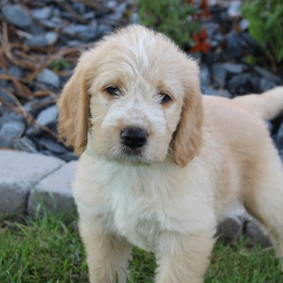 Bentley - Labradoodle male puppie for sale near Woodburn, Indiana