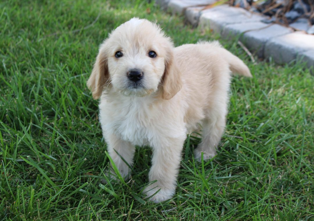 Brunno - Labradoodle male puppy for sale at Woodburn, Indiana