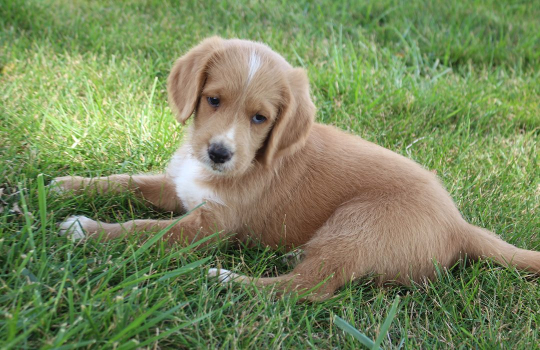 Shadow - Labradoodle male doggie for sale near Woodburn, Indiana