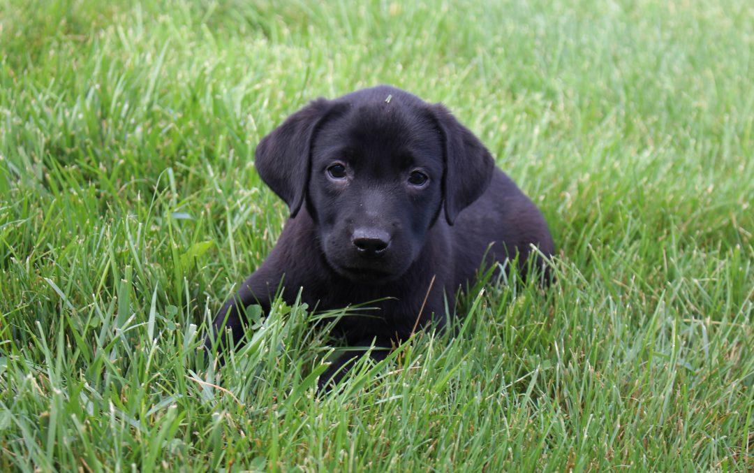 Barney - male AKC Labrador Retriever pupper for sale near Spencerville, Indiana