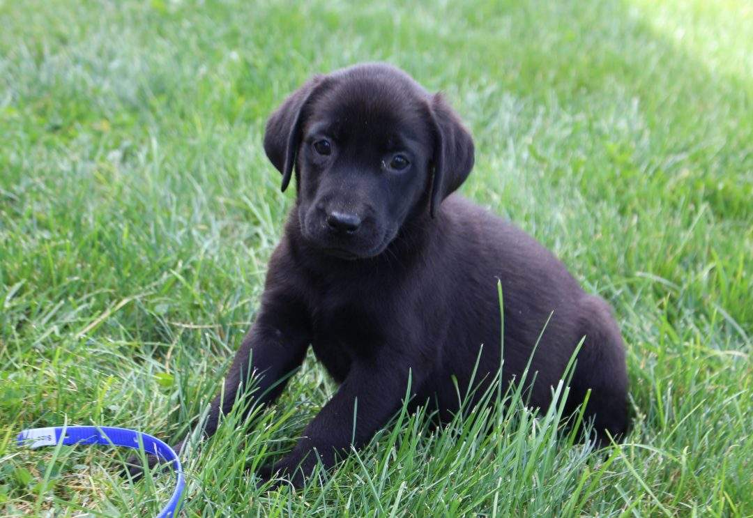 Boone - AKC Labrador Retriever male pup for sale in Spencerville, Indiana