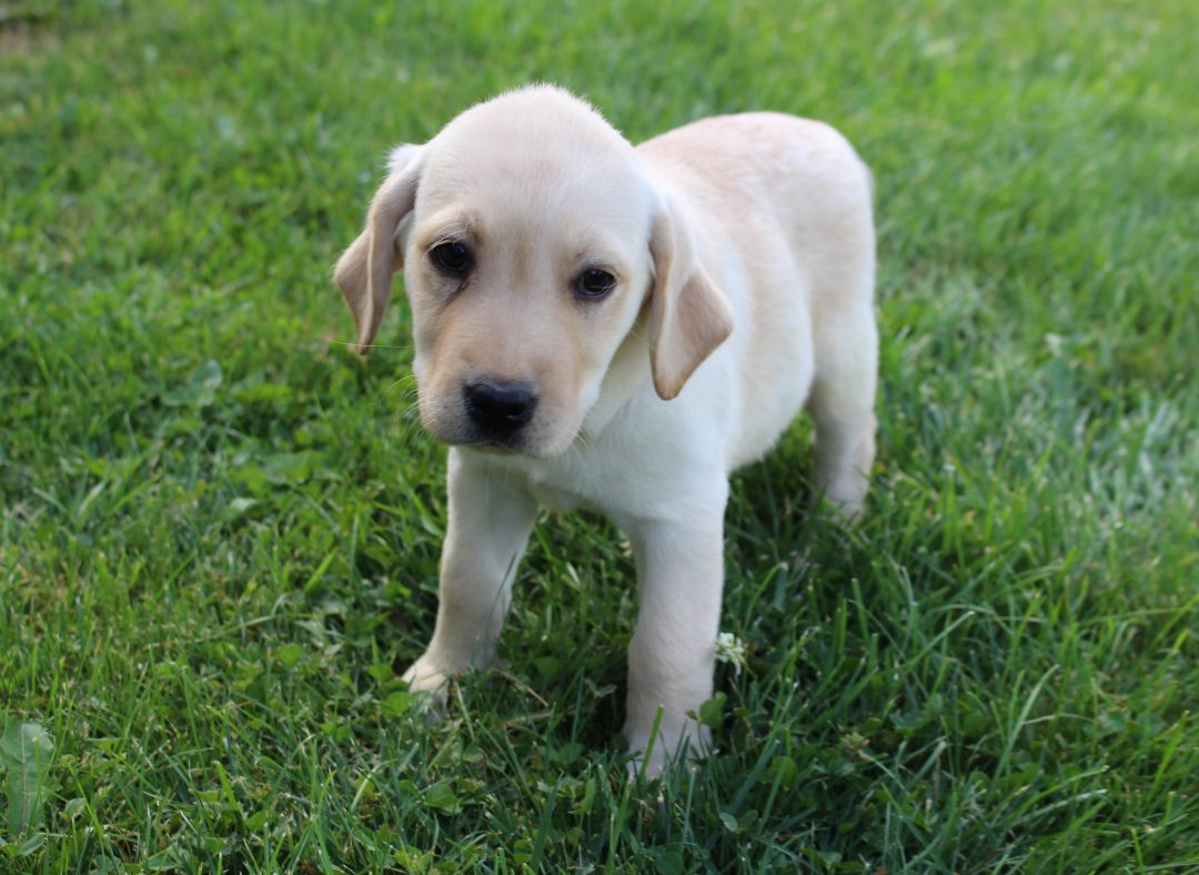 Kelly - AKC Labrador Retriever male pupper for sale in Spencerville, Indiana
