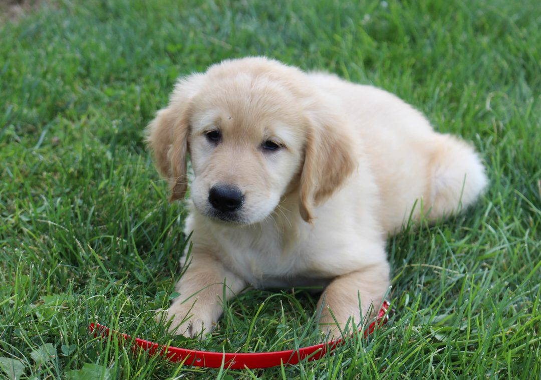 Eddie - puppie AKC Golden Retriever male for sale at Spencerville, Indiana