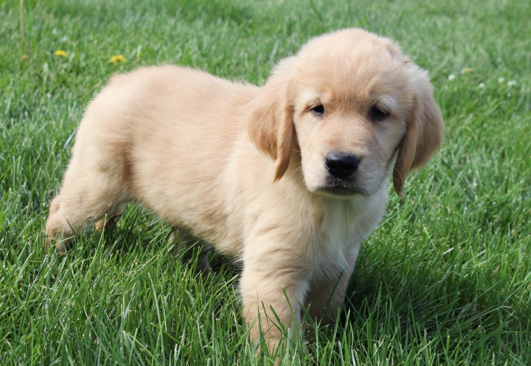 Willy - AKC Golden Retriever male doggie for sale near Spencerville, Indiana