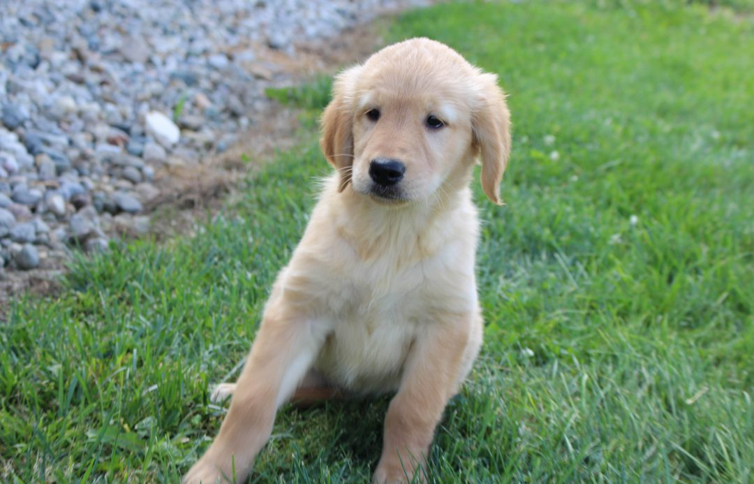 Skye - AKC Golden Retriever female puppy for sale in Spencerville, Indiana