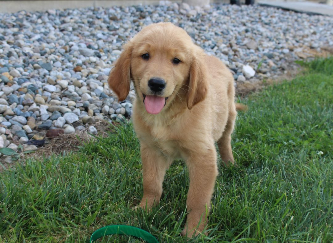 Queenie - AKC Golden Retriever female pup for sale at Spencerville, Indiana