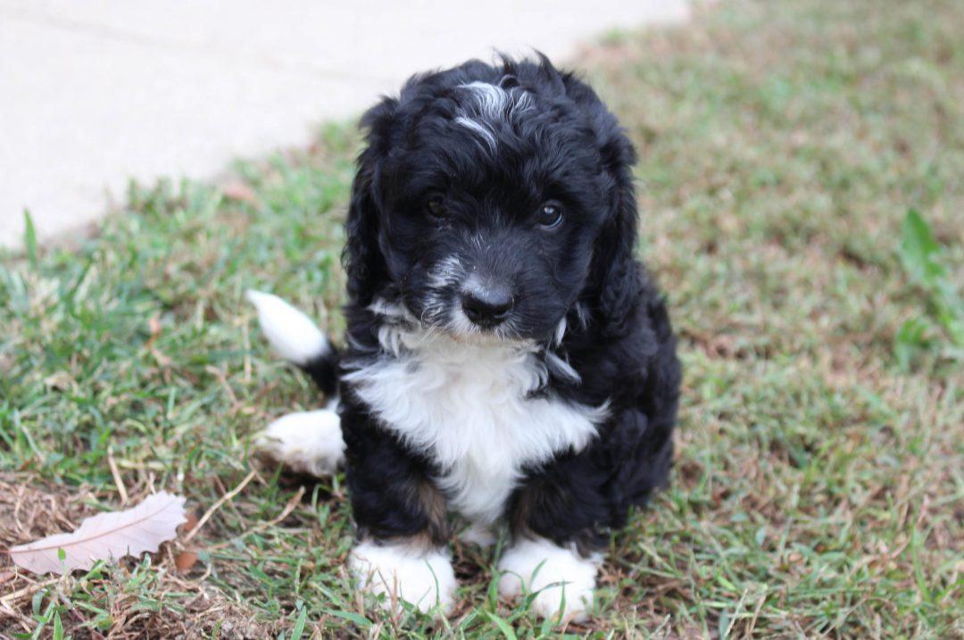 Lindsey - Mini Poodle female doggie for sale near Spencerville, Indiana