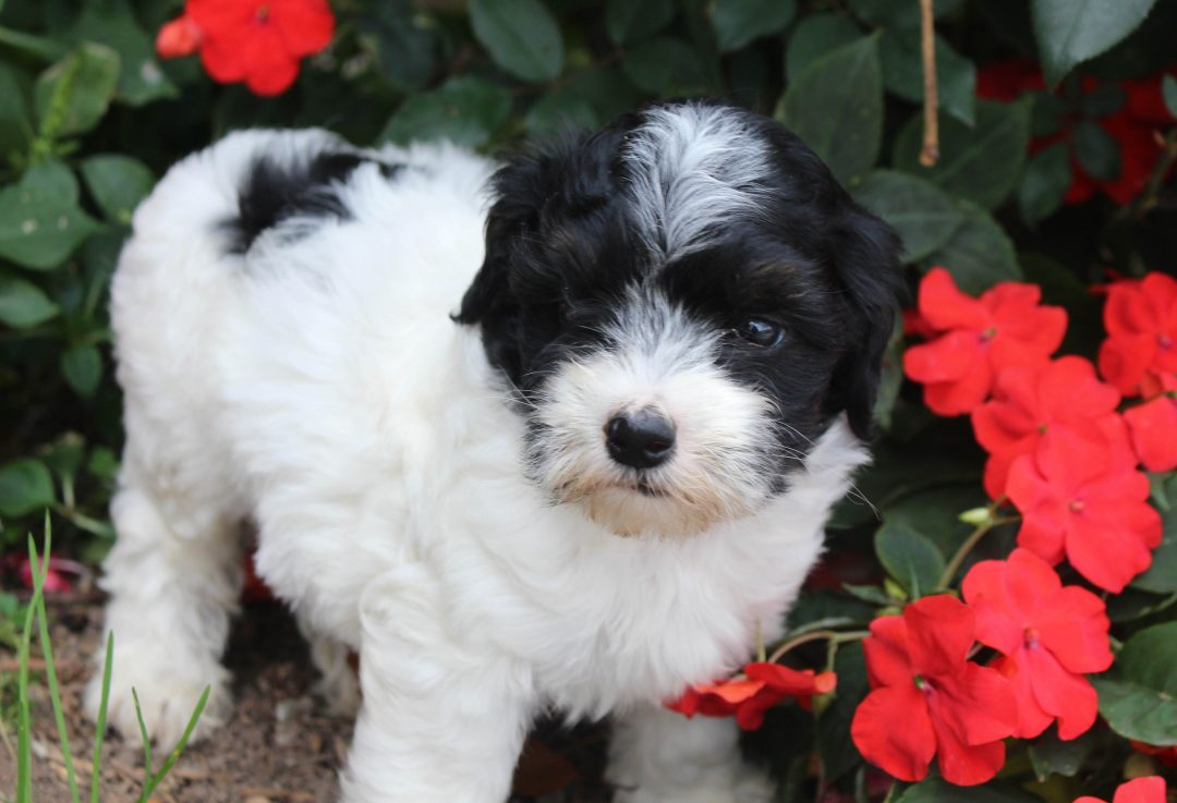 Darcy - puppy Mini Poodle female for sale in Spencerville, Indiana