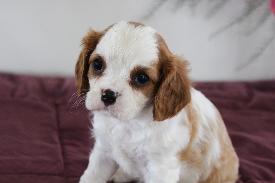 Jeffy - AKC Cavalier King Charles Spaniel male doggie for sale near New Haven, Indiana