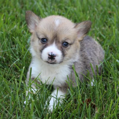 Stella - ACA Welsh Corgi female puppy for sale at Shipshewana, Indiana