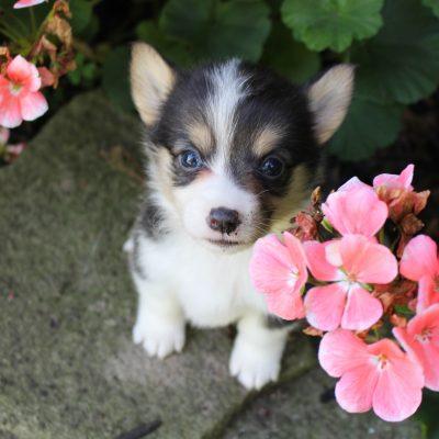 Belle - ACA Welsh Corgi female puppy for sale in Shipshewana, Indiana
