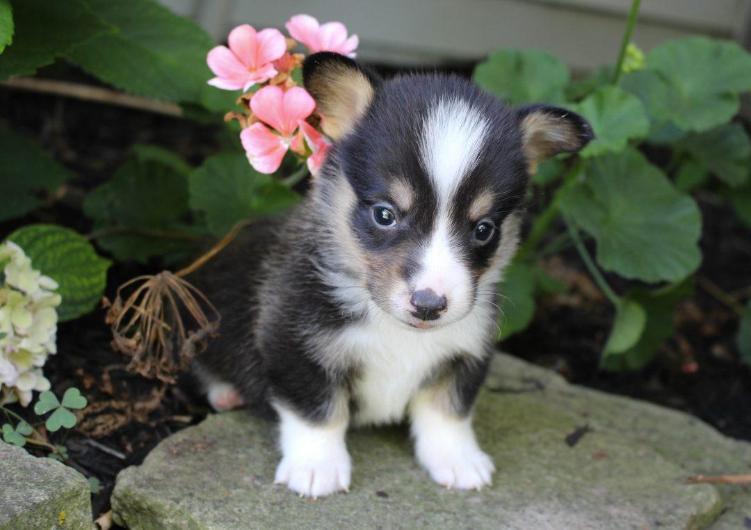 Zeus - ACA Welsh Corgi male puppie for sale in Shipshewana, Indiana