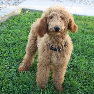 Jackie - F1B Goldendoodle female pup for sale at Hicksville, Ohio